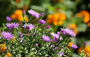 Gardening Tips for Fall Flowers