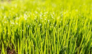 Grass Species Perfect for Maryland Lawns